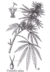 02 01 cannabis sativa linn chanvre cultiv chanvre hemp - Feuille cannabis dessin ...