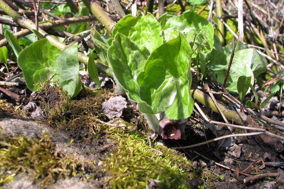 01. 00. ASARUM Linné, ASARET, plantes vivaces, acaulescentes, à rhizomes aromatiques.