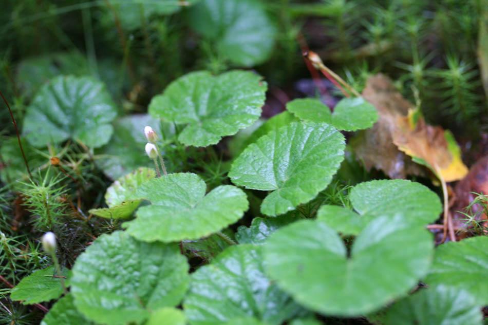 14 00 dalibarda kalm dalibarde plante vivace herbace for Plante rampante