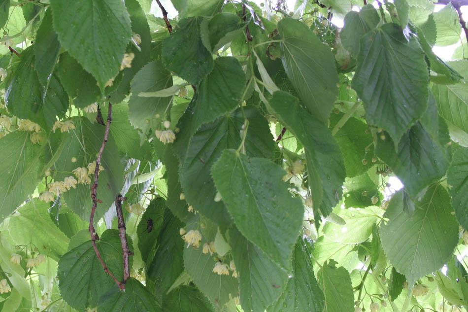 01 00 tilia linn tilleul grands arbres feuilles - Tilleul a grandes feuilles ...